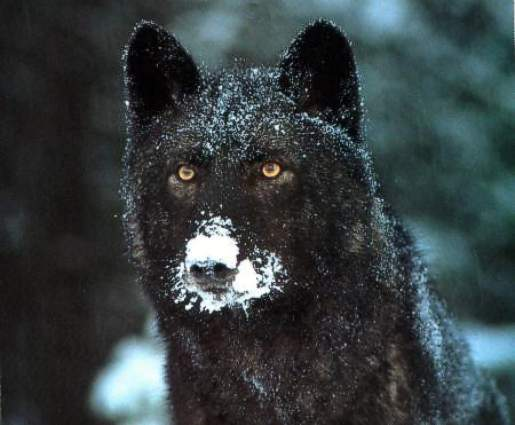 snow on nose of black wolf