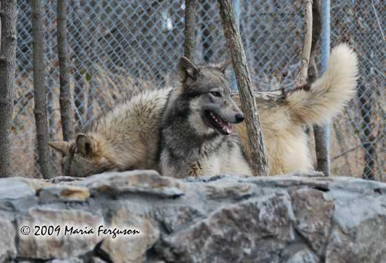 Wolf pictures, peeking