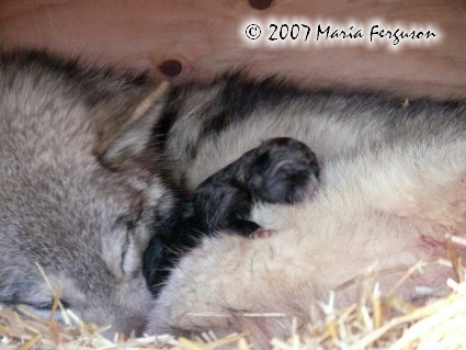 First born Wolf Pup