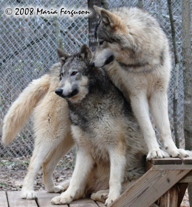 protective wolf picture