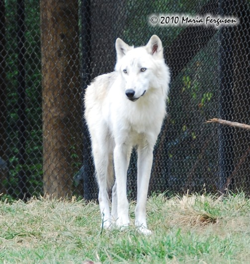 White Wolf pictures I