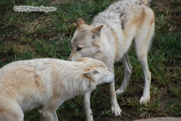 White Wolf pictures IV