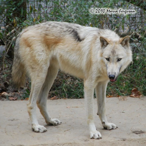 White Wolf pictures IX