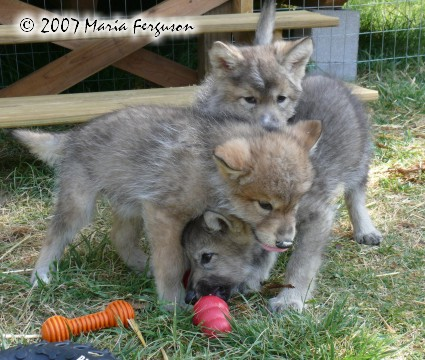 Wolf Pup Is Angry Picture