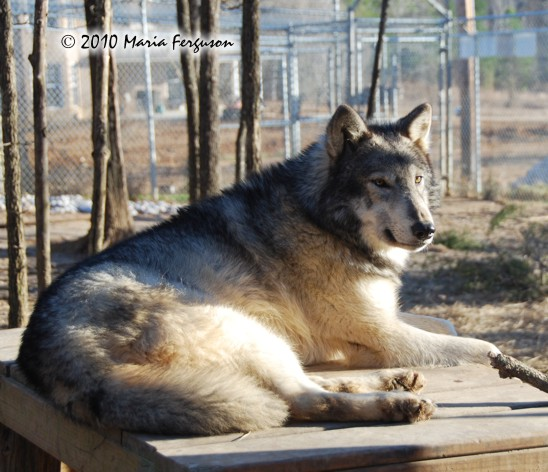 Wolf pictures, relax