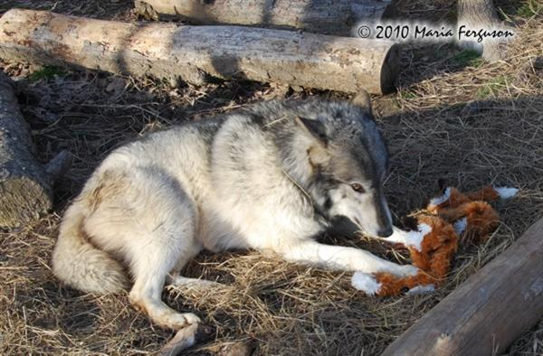 Wolf pictures, guarding