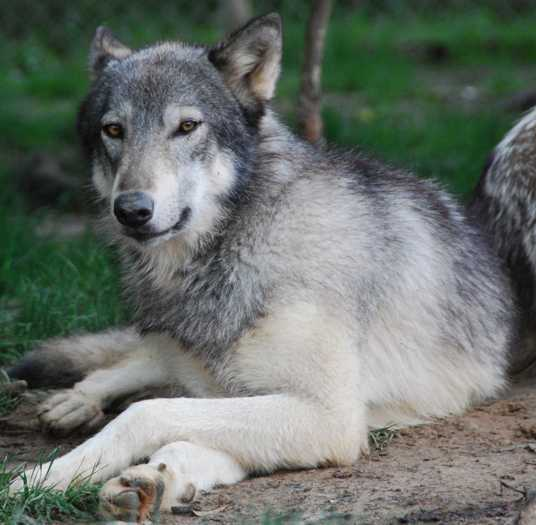 Wolf pictures, thoughtful