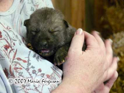 Wolf Cub Pictures, Our Nita
