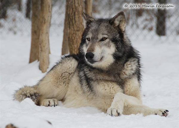 Wolf Pictures, Nita's snow day I