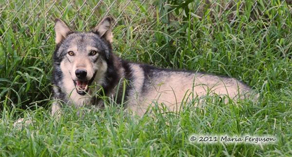 Wolf pictures, Nita in summer