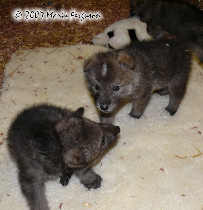 Wolf Pups play picture