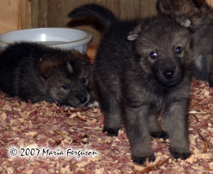 Wolf pups hanging out by the water hole