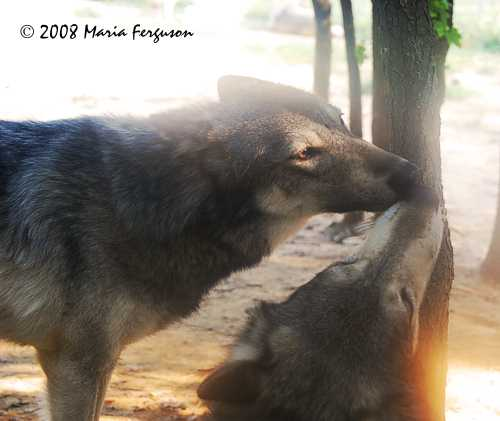Wolf pictures, Sister and Brother Wolves