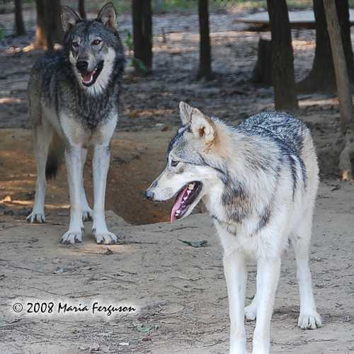Wolf pictures, Sister Wolves