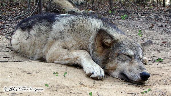 Ohoyo dreaming Wolf picture