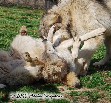 Wolf pictures, wrestling