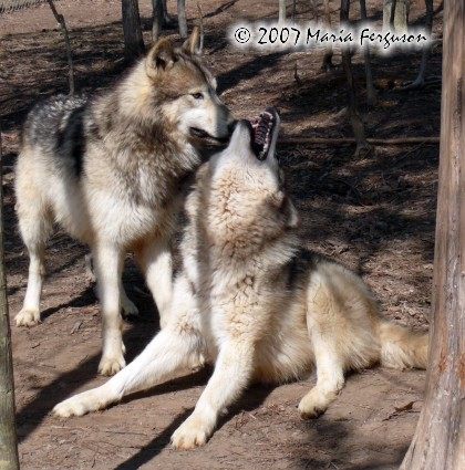 Pregnant Wolf Strains To Get Up