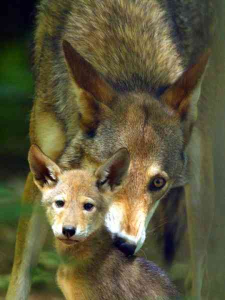 Red Wolf Dad Picking Up Pup