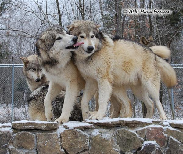 Wolf picture, big sloppy Wolf kisses