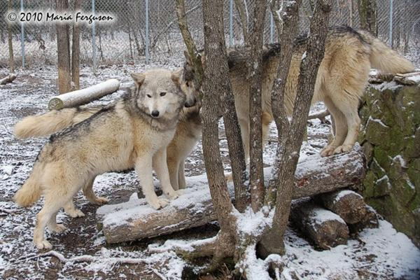 Wolf pictures, Alpha Female