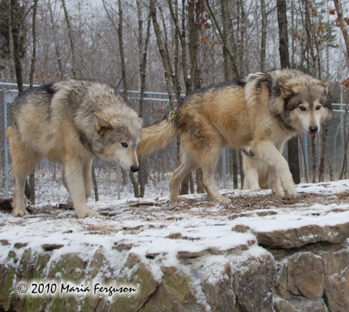 Wolf pictures, Alpha pair