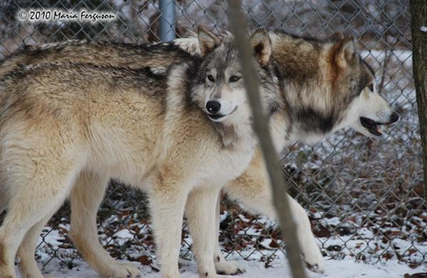 Wolf pictures, bro and sis