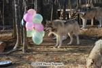 Wolf pictures, birthday I Picture