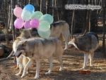Wolf pictures, birthday II Picture