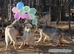 Wolf pictures, birthday V Picture