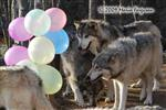 Wolf pictures, birthday VIII Picture