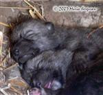 Cuddling Wolf Pup picture Picture