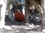 Three Wolves and a pumpkin picture Picture