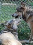 Wolf pictures, the Alpha Pair Picture
