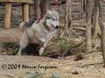 Wolf pictures, running home Picture