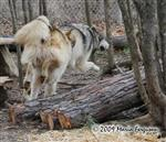 Wolf pictures, catching up Picture