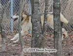 Wolf pictures, running around Picture