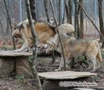 Wolf pictures, jumping Picture
