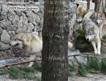 Wolf pictures, ring around the Wolf house Picture