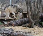 Wolf pictures, exploring Picture