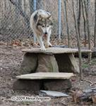 Wolf pictures, good to be home Picture