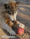 Wolf paw picture Picture