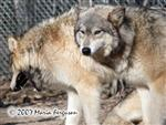 Bored Wolf picture Picture