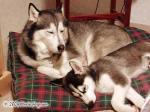Sweet Siberian Husky Picture