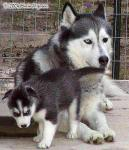 Siberian Husky Father and Son Picture
