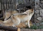 Wolf pictures, what's this? Picture