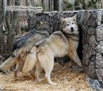 Wolf pictures, Lookie here Picture