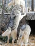 Wolf pictures, what's up there? Picture