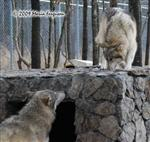 Wolf pictures, new smells Picture
