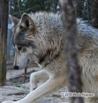 Wolf pictures, all ears Picture