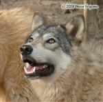 Lovely girl Wolf picture Picture